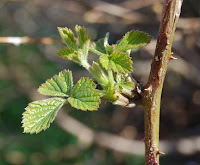 young blackberry leaves