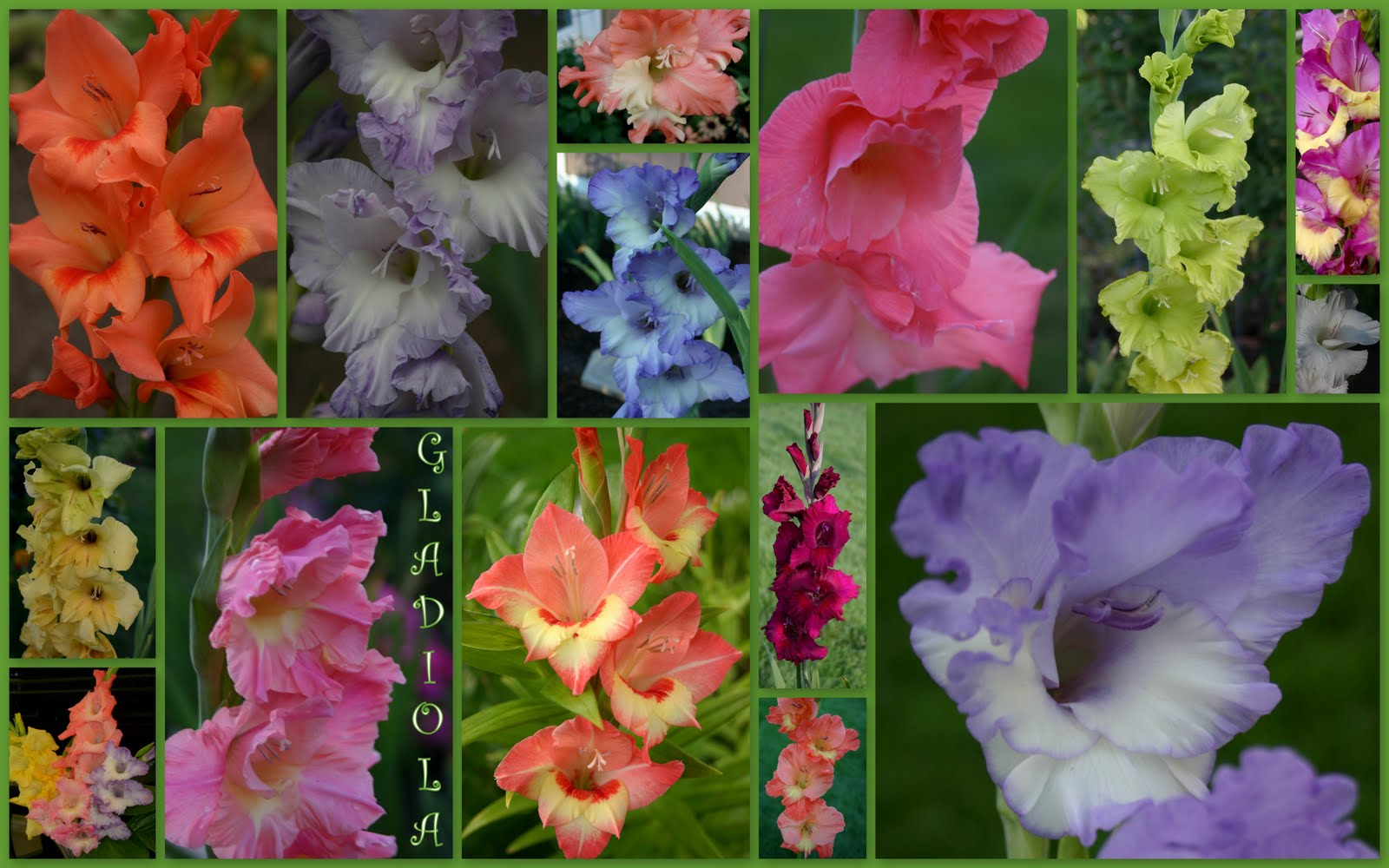 GLADIOLI Sowing the Seeds