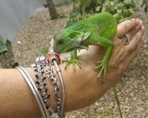 Iguana crawling up my arm