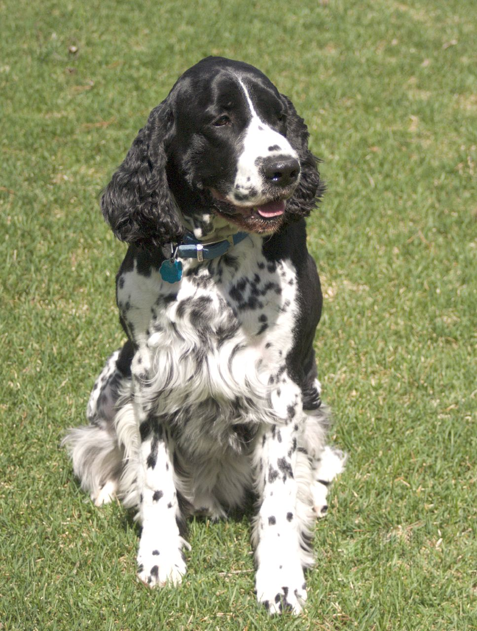 English Springer Spaniel | Top Dog Directory