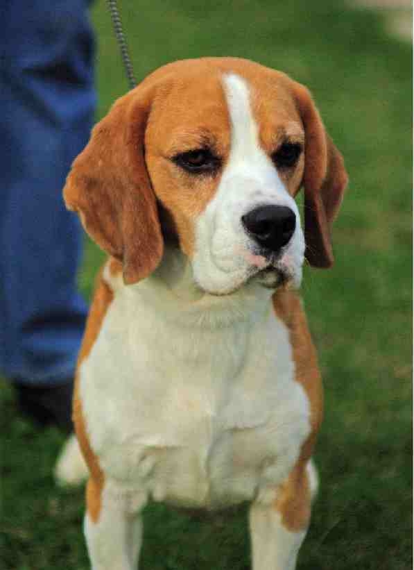 Beagle Champion | Top Dog Directory
