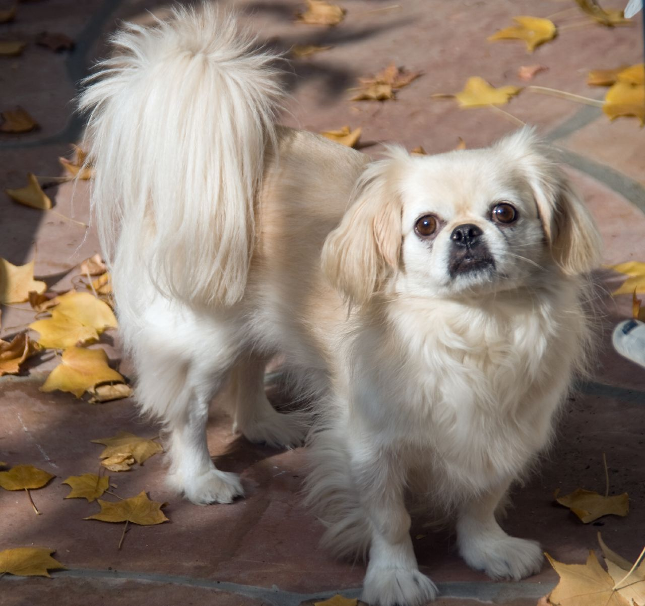 Pekingese Top Dog Breeds | Top Dog Directory