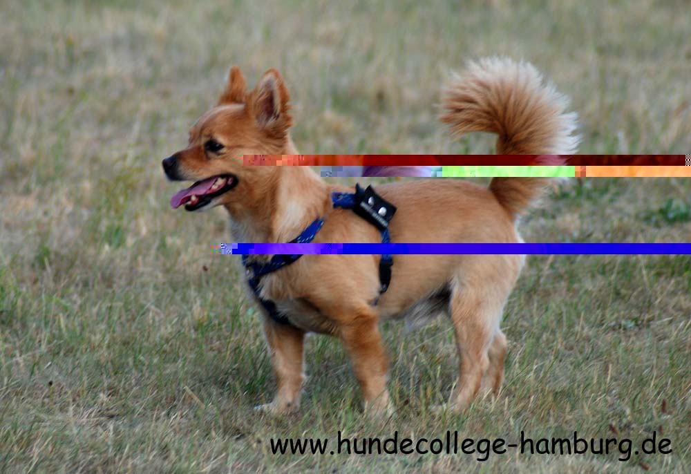 Chihuahua Cairn Terrier Mix | Top Dog Directory