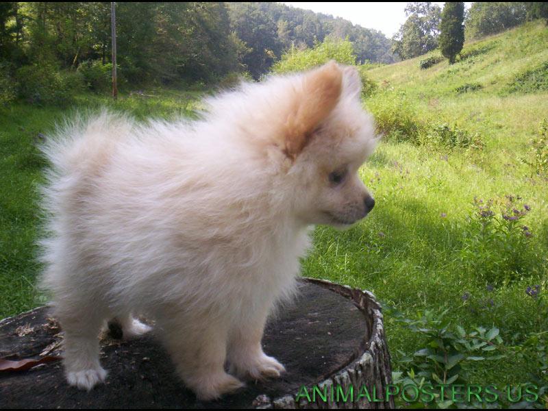 Cute pomeranian puppies top dog directory