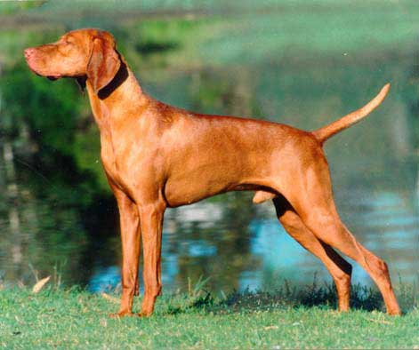 Vizsla Puppies Photos | Top Dog Directory