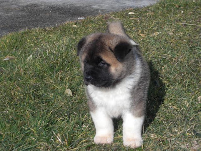 Cute Akita puppy playing outdoor, puppy, puppies, akita breed dog, rescue dog, hound dog