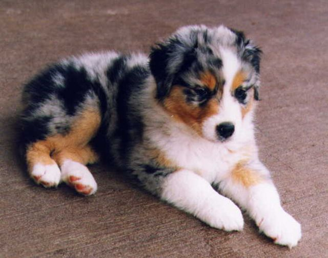 Australian Shepherd Medium Sized Dog Breeds