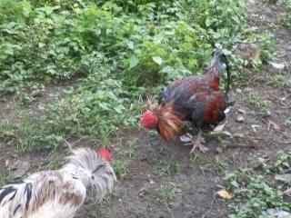 Cuerda atada bolas de gallo