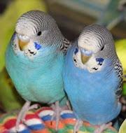 Fugleoppdrett