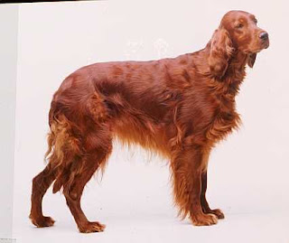 FUNNY PUPPY: IRISH RED SETTER