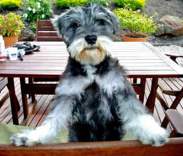 iniature Schnauzer Top Small Dogsg