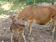 THIS IS OUR COWS...WE ARE IN VENGARA