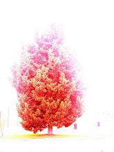 o cipreste vermelho