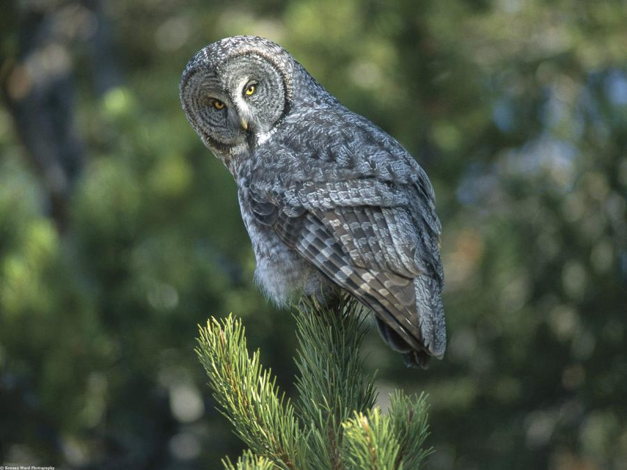 Great Grey Owl | Content in a Cottage
