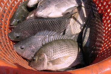 foto ikan nila - gambar binatang