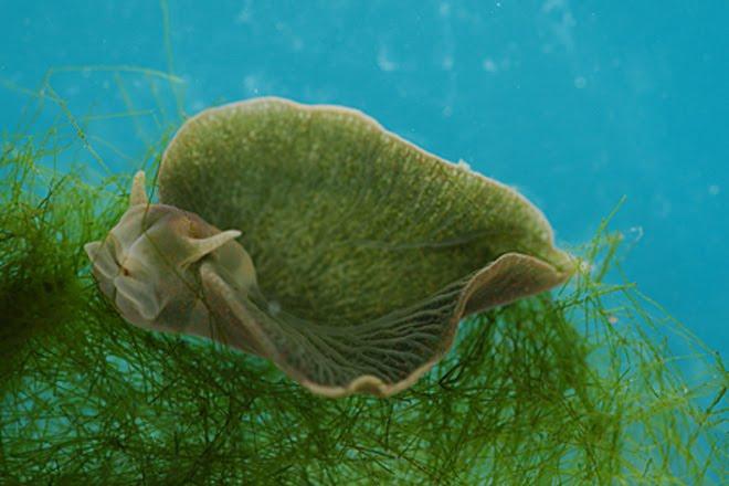 blue sea slug. Green Sea Slug Discovery