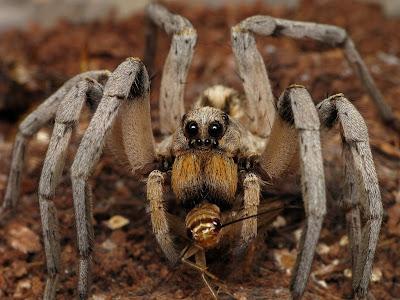 العنكـــــــبوت سبحان الخالق المبدع تقرير غريب ومخيف Wolf+Spider+-+Loskut