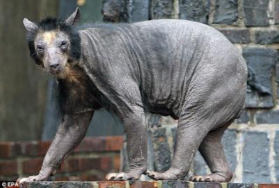 http://3.bp.blogspot.com/_LbccUVbSRd8/Sv3NaR-SCKI/AAAAAAAAFL4/uPO5ARzcjc0/s400/Bald+Bear+-+Germany+3.jpg