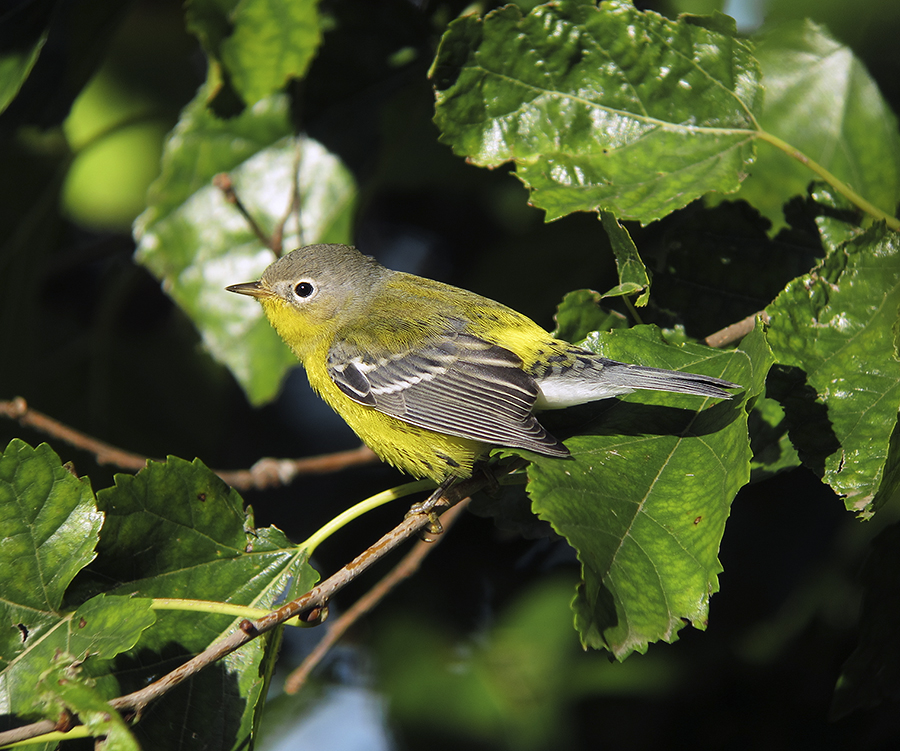 magnolia warbler fall - photo #44