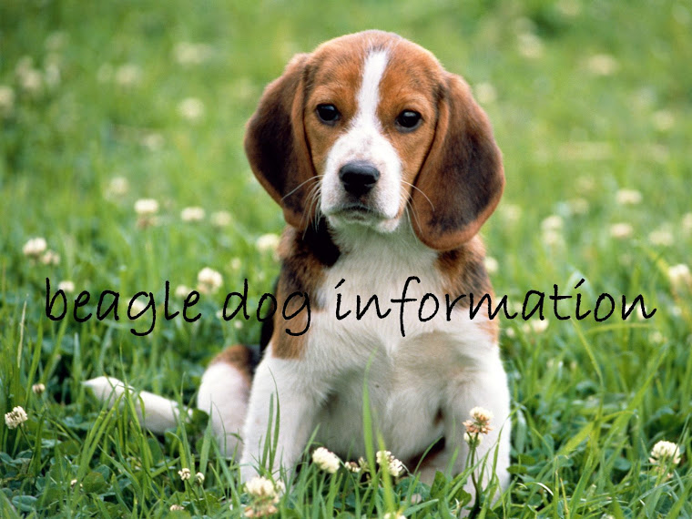 Beagle Dog Information Anatomy Of A Dogs Ear
