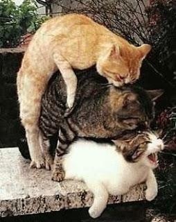 gato hembra macho distinguir