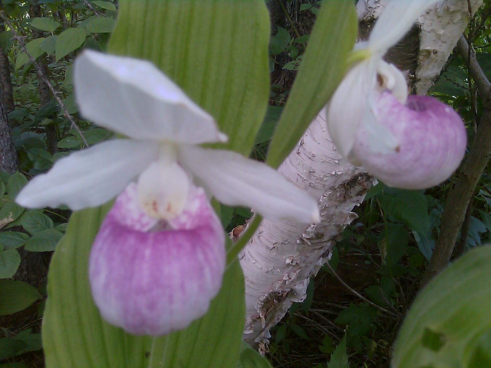 The ABC3s of Miscellany Lady Slipper MN State Flower