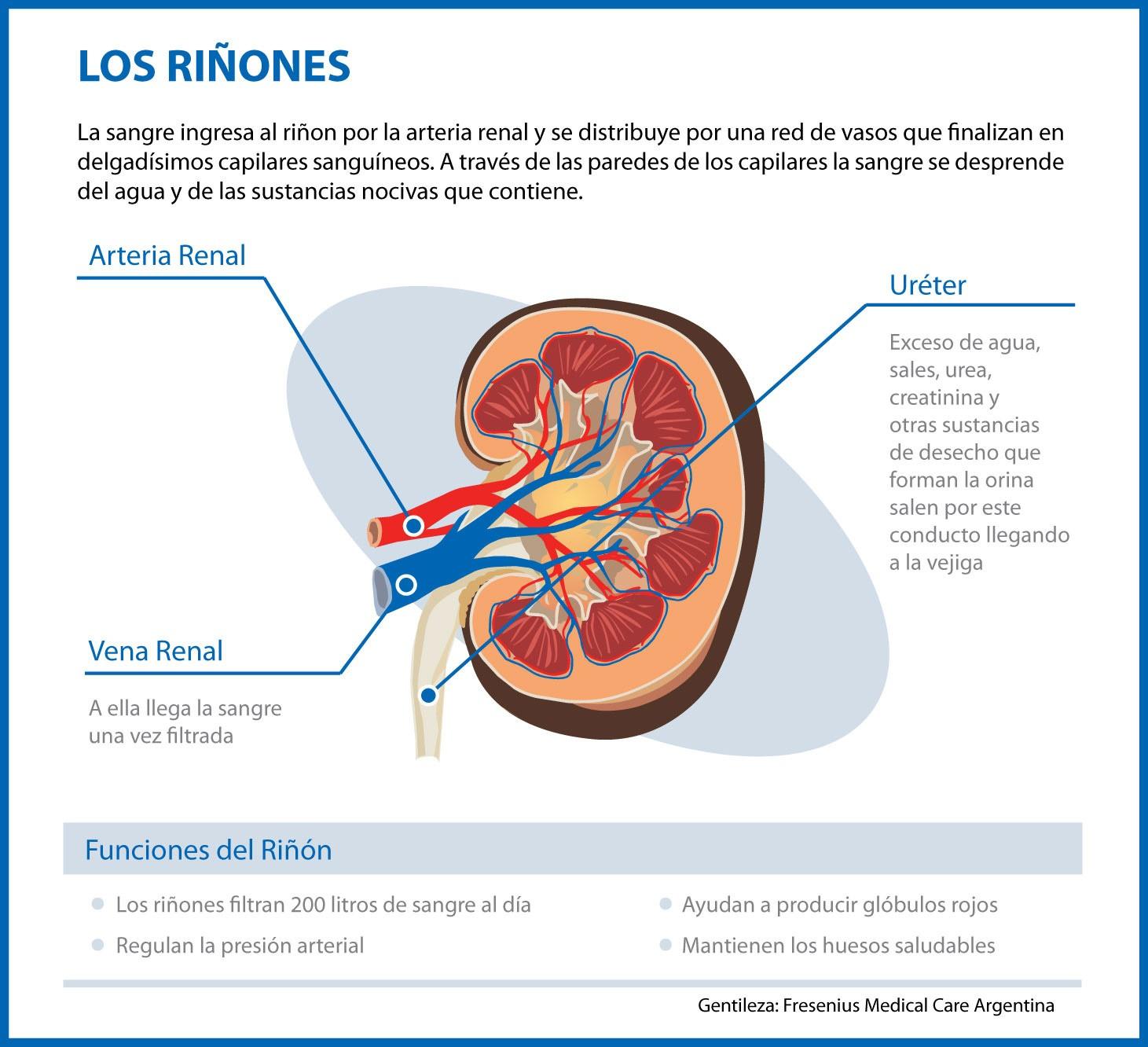 Vivir con insuficiencia renal: Los riñones
