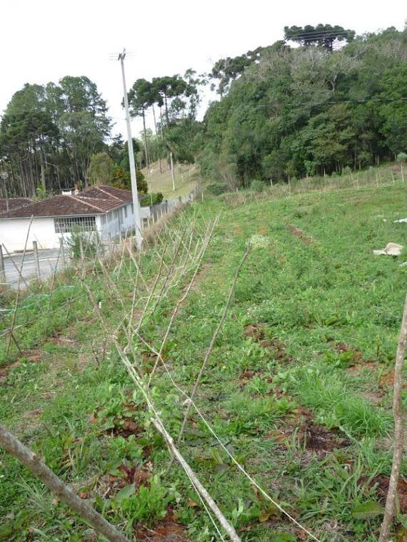 Plantação de ervilha na Chácara