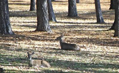 Contented Deer
