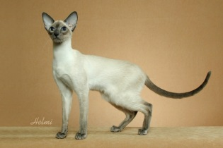 Blue pointed Siamese cat