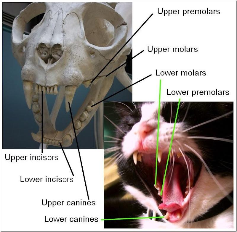 Cat teeth anatomy