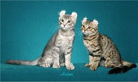tabby American Curl cats
