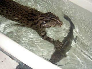 fishing cat catching fish in a bath