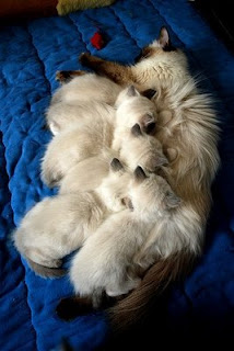 Ragdoll Catscentral Texas Pictures Of Cross Between A