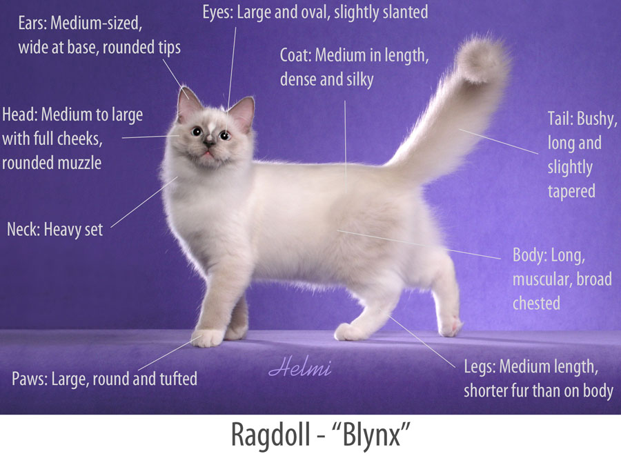 Ragdoll Breed Standard