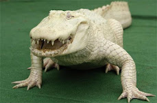 The Albino crocodile.