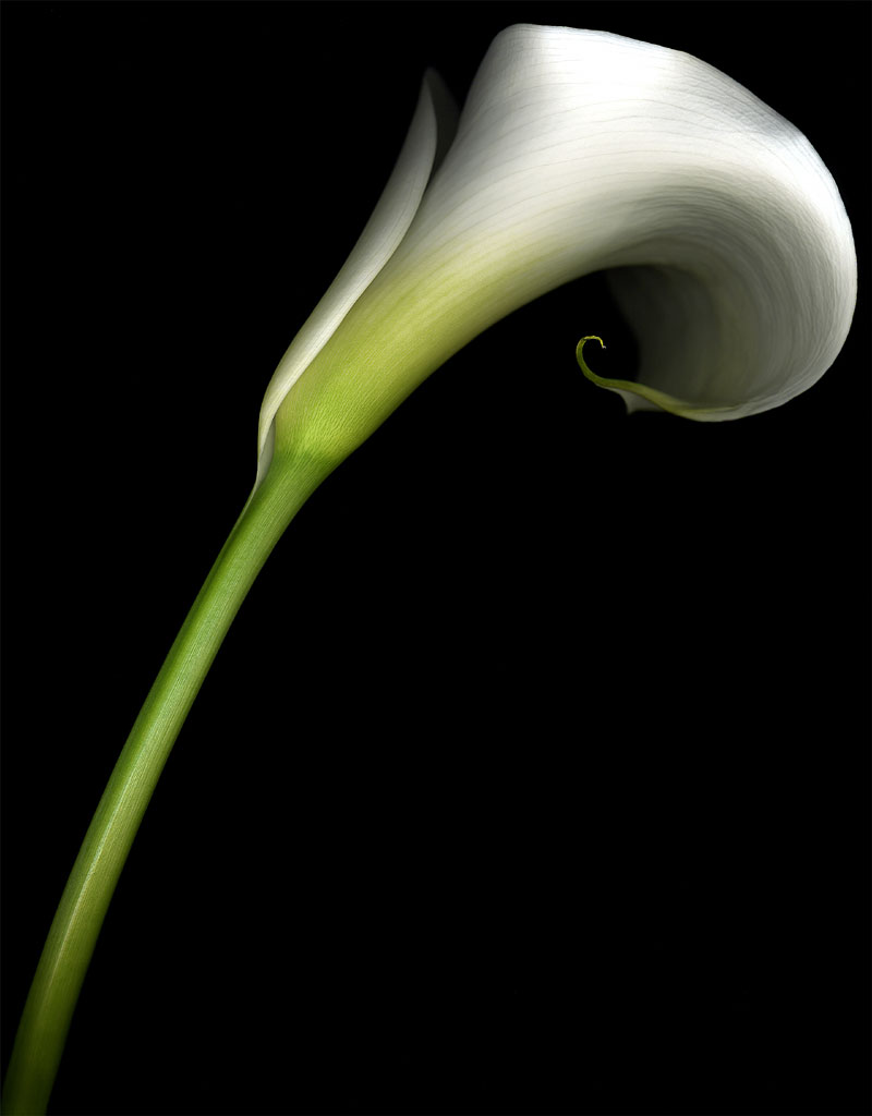 Flowers: Calla Lily