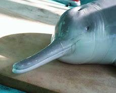 Baiji or Chinese River Dolphin