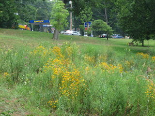 black-eyed susans at Saylor's Grove