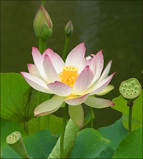 Praise god for who he is i love lotus flowers i like eating lotus flower seeds and the roots too mightylinksfo
