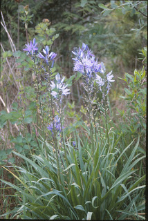 Bouquets Of Summer Flowers In Shades Lilac Blue On A Bushy 2 3 Ft Tall Plant Grows Wild Coastal Meadows Easy And Drought Hardy Gardens