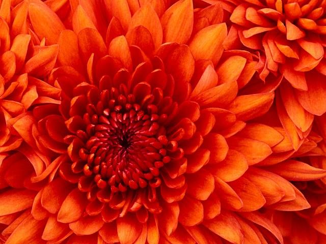 Chrysanthemum, marissa haque fawzi alumni unika atmajaya jakarta