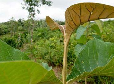'ಕೊಡಿಮರ'ದ ಸಾಗುವಾನಿಯ ಕಡುದು ಮಾರಿದ ಶುದ್ದಿ | Oppanna : ಒಪ್ಪಣ್ಣನ ಒಪ್ಪಂಗೊ