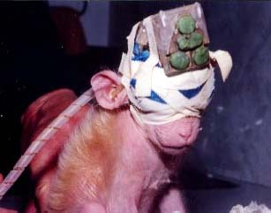animal testing should not be banned essay Animals used to test the effect of certain ingredients do not have the same biology as humans, so the testing often harms or kills thousands of animals and humans a year because of faulty testing (greek animal experimentation is unscientific 87).