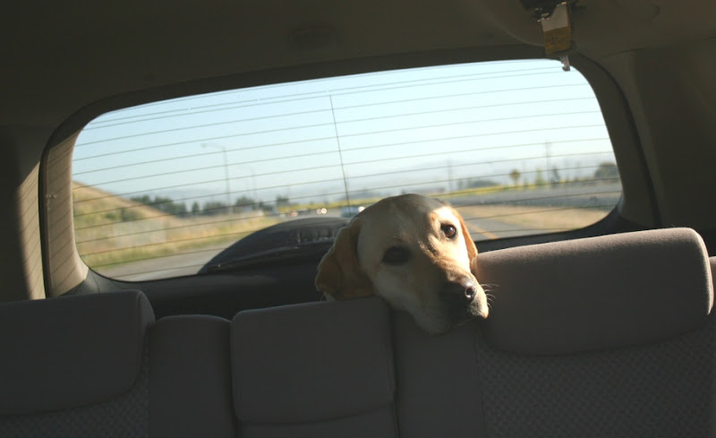 cabana's head peeking over the back seat with her head resting on it, you can see the highway in the rear window behind her