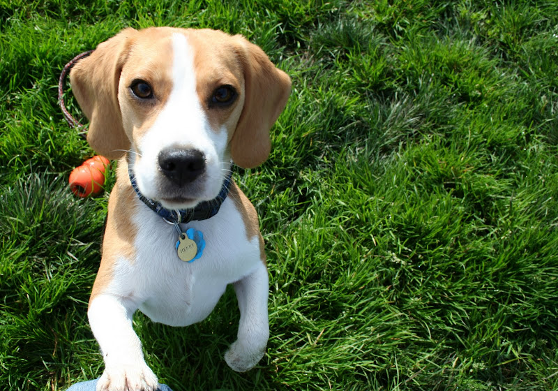 sweetest looking little tan and white beagle with large eyes and tiny paws, and a little tag that says Henry