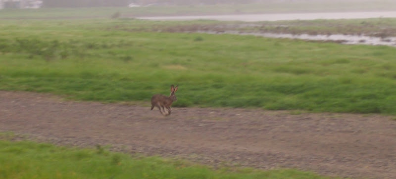 another shot of the jackrabbit running along the path