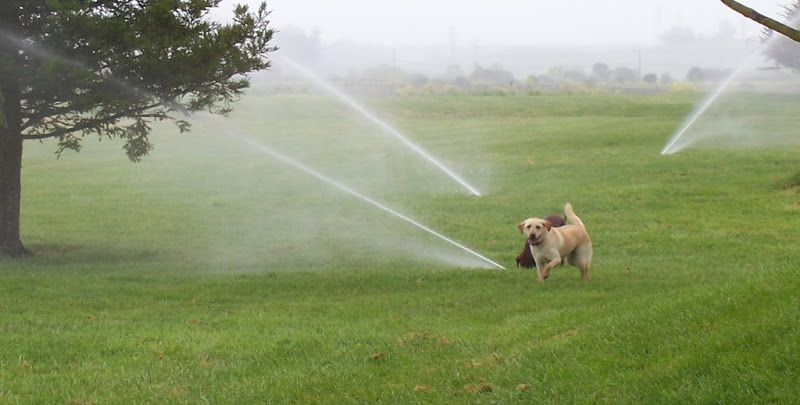 cabana and a chocolate lab puppy standing in a field of grass, three big sprinklers are shooting out water