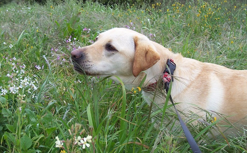 close up of cabana standing in the midst of tall grass, dotted with pink, purple and yellow wildflowers, cabana is sticking her nose out like she's sniffing the flowers, her face has water droplets from the morning dew