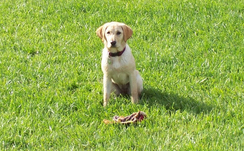 little yellow lab sitting in the grass, looking straight at camera, she has very similar coloring to cabana's, light yellow with darker golden ears
